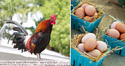 Rooster Photos - Rooster Eggs by Rebecca Cozart
