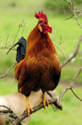 Roosters Photos - Rooster Perched Like a Songbird As If by Laura Mountainspring