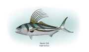 Game Fish Drawings Framed Prints - Roosterfish Framed Print by Ralph Martens