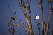 Roosting And Resting Prints - Roosting Cormorants In A Tree With Moon Print by Norbert Rosing