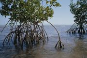 Mangrove Trees Photos - Root Legs Of Red Mangroves Extend by Medford Taylor