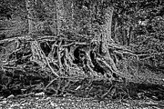 Roots - Bw Print by Christopher Holmes