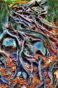 Tree Roots Prints - Roots and Rocks Print by David  Naman