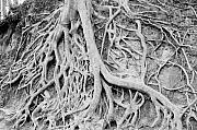 Tree Roots Photo Framed Prints - Roots in Black and White Framed Print by Steve Shockley