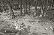 Fine Photography Art Photo Originals - Roots by James Steele