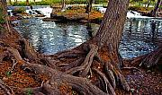 Cedar Trees Prints - Roots on the River Print by Stephen Anderson