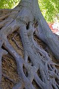 Tree Roots Prints - Roots Print by Suzanne Gaff