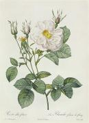 Blossom Drawings Prints - Rosa Alba Foliacea Print by Pierre Joseph Redoute