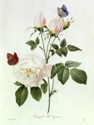 White Roses Paintings - Rosa Bengale the Hymenes by Pierre Joseph Redoute
