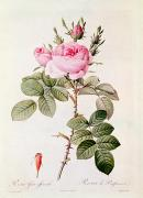 20th Drawings - Rosa Bifera Officinalis by Pierre Joseph Redoute
