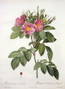 Coloured Flower Framed Prints - Rosa Carolina Corymbosa Framed Print by Pierre Joseph Redoute