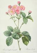 Nature Drawings Metal Prints - Rosa Centifolia Caryophyllea Metal Print by Pierre Joseph Redoute
