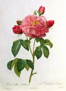 Rosa Gallica Aurelianensis Print by Pierre Joseph Redoute