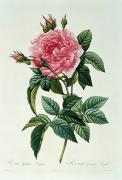 Flower Blooms Drawings Prints - Rosa Gallica Regalis Print by Pierre Joseph Redoute