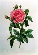 Red Leaves Drawings - Rosa Gallica Regallis by Pierre Joseph Redoute