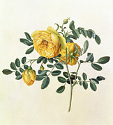 Blue Flowers Paintings - Rosa hemispherica by Georg Dionysius Ehret