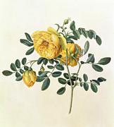 Rosa Hemispherica Print by Georg Dionysius Ehret