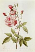 Red Flowers Painting Metal Prints - Rosa Indica Vulgaris Metal Print by Pierre Joseph Redoute