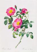 Leaf Drawings - Rosa Lumila by Pierre Joseph Redoute