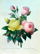 Yellow Leaves Painting Prints - Rosa Lutea and Rosa Indica Print by Pierre Joseph Redoute