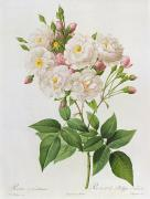 Engraving Framed Prints - Rosa Noisettiana Framed Print by Pierre Joseph Redoute