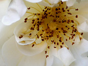 Livingroom Photos - Rosa pimpinellifolia by Jan Willem Van Swigchem