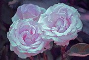 Purple Roses Prints - Rose 118 Print by Pamela Cooper