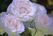 Light Pink Roses Prints - Rose 120 Print by Pamela Cooper