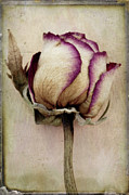 Layers Prints - Rose 2 Print by Marion Galt
