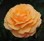 Rose 3 Print by Vivian Christopher