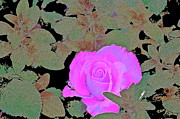 Pamela Cooper Framed Prints - Rose 97 Framed Print by Pamela Cooper