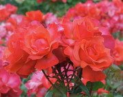 Red Photo Metal Prints - Rose Abundance Metal Print by Rona Black