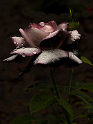 Barbara Middleton Metal Prints - Rose After Dark Metal Print by Barbara Middleton