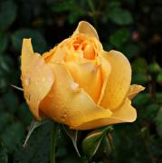 Northwest Art Prints - Rose after the rain Print by Cathie Tyler
