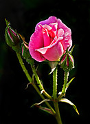 Single Rose Stem Photos - Rose and Buds by Robert Bales