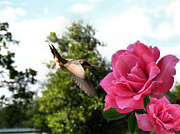 Joyce Dickens - Rose And Rufous