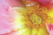 Pink Floral Photos - Rose Bloom by Jeannie Burleson