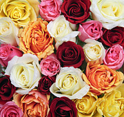 Multicolored Roses Prints - Rose blossoms Print by Elena Elisseeva