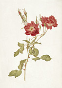 Stalk Paintings - Rose Bourbon by Alfred Parsons