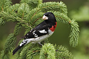 Usa Photo Originals - Rose-breasted Grosbeak - D002769 by Daniel Dempster