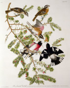 Branch Drawings Posters - Rose breasted Grosbeak Poster by John James Audubon