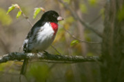 Wildlife Metal Prints - Rose Breasted Grosbeak Metal Print by Michael Cummings