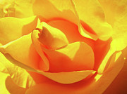 Orange Roses Prints - ROSE Bright Orange Sunny Rose Flower Floral Baslee Troutman Print by Baslee Troutman Fine Art Prints Collections