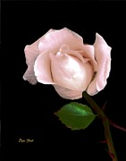 Dale   Ford - Rose Bud