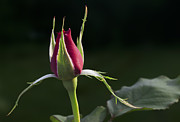 Citizen Prints - Rose Bud Print by Grant Groberg