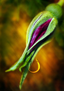 Thousand Posters - Rose Bud Tear Poster by Svetlana Sewell