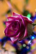 Flower Curves Prints - Rose Celebration Print by Bill Tiepelman