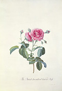 Red Leaves Painting Posters - Rose Dutch hundred leaved Rose Poster by Georg Dionysius Ehret