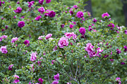 Purple Garden Prints - Rose Garden Print by Frank Tschakert