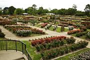 Rose Garden Park Tyler Texas Print by M K  Miller